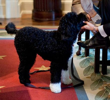 The_dog_Bo_in_the_Cabinet_Room_(cropped)